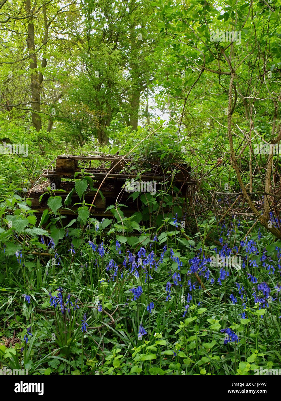 Bluebells growing in a copse with discarded pallets behind. Stock Photo