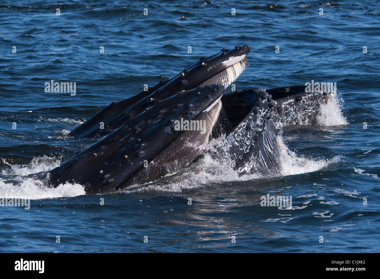 Two Humpback Whales (Megaptera novaeangliae) lunge-feeding on Krill. Monterey, California, Pacific Ocean. Stock Photo