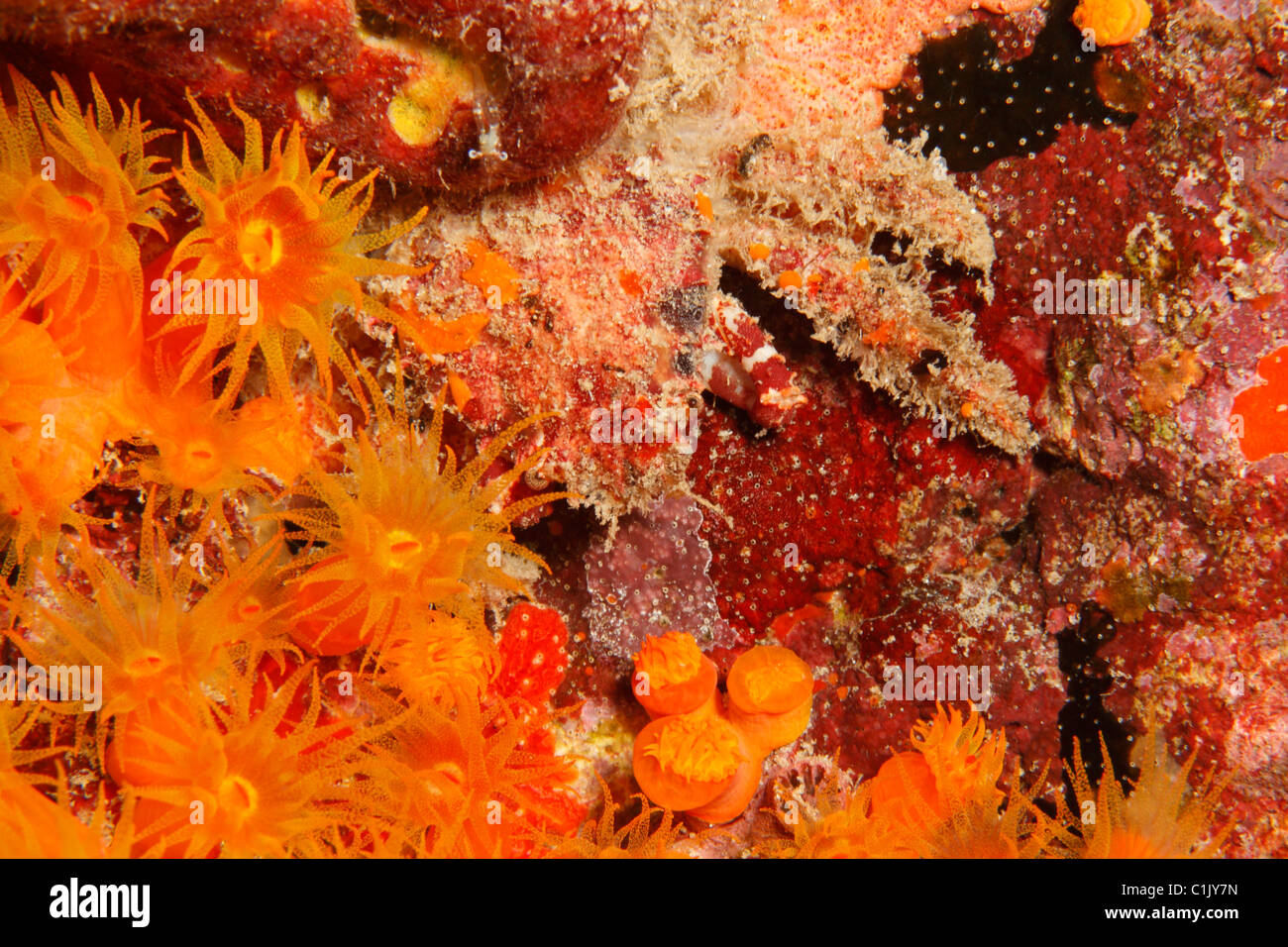 Speck-claw Decorator Crab (Microphrys bicornuta) camouflaged against corals and sponges. - Stock Image