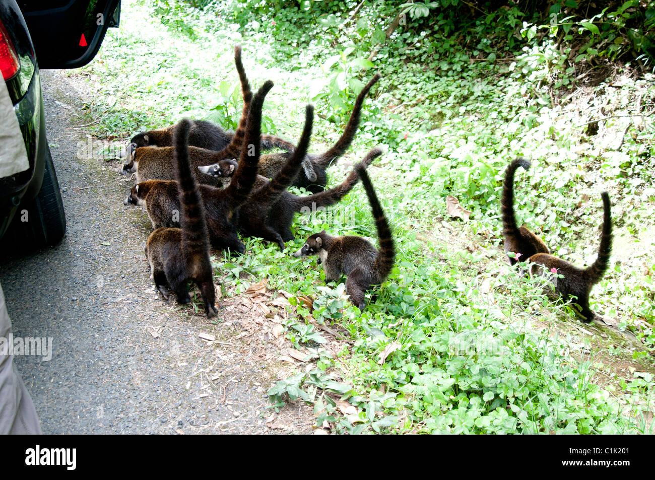 Caotis,Pizote ,Brazilian Aardvark - Stock Image