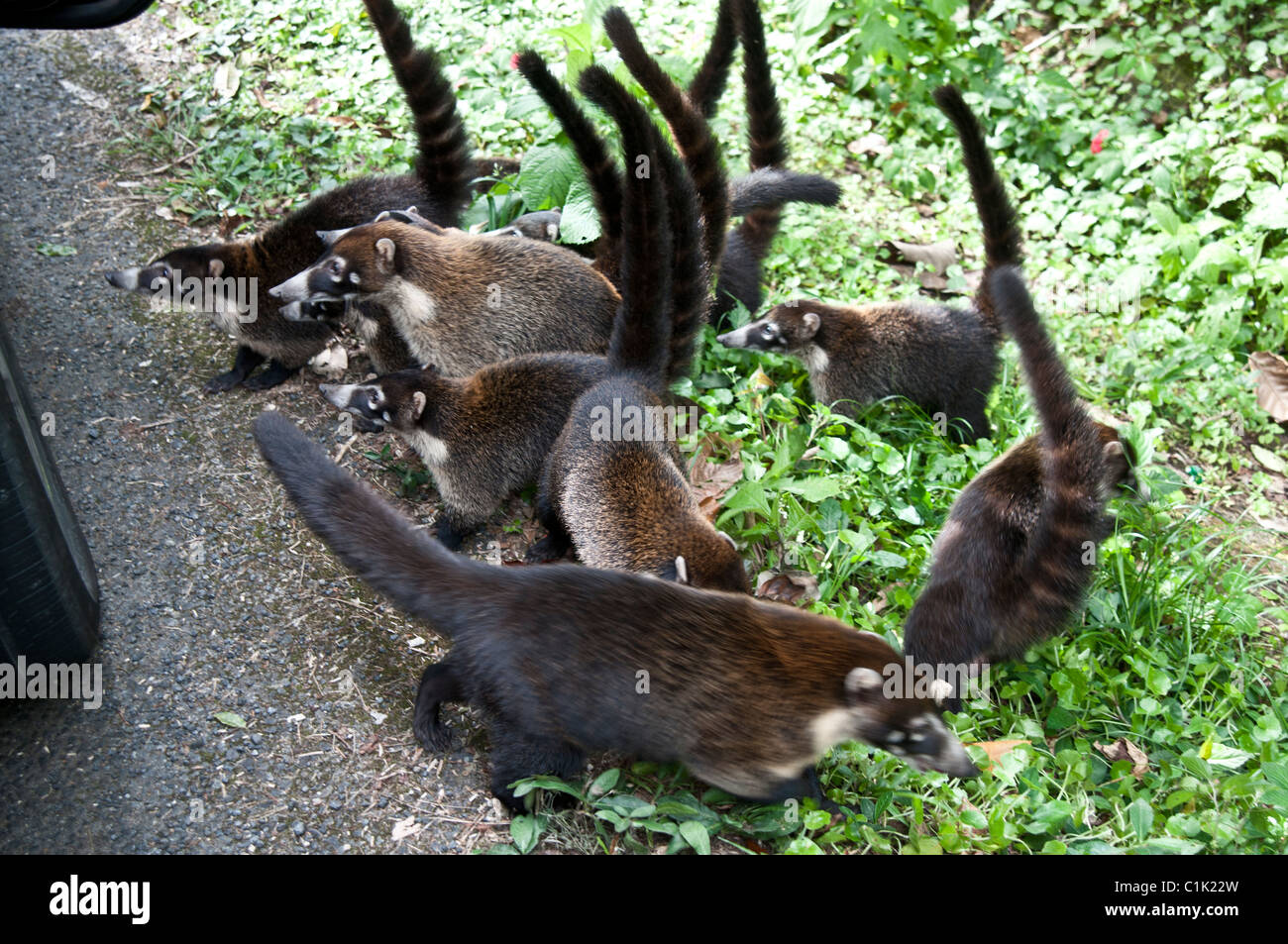 Coatis ,Pizote,Brazilian Aardvark - Stock Image