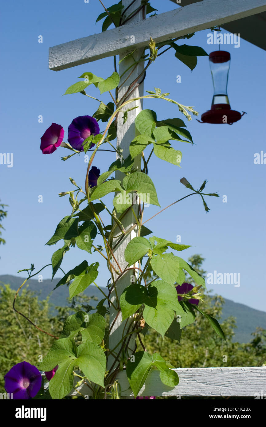 Morning glories twine up a porch trellis on a sunny day.  Note hummingbird feeder in background. - Stock Image