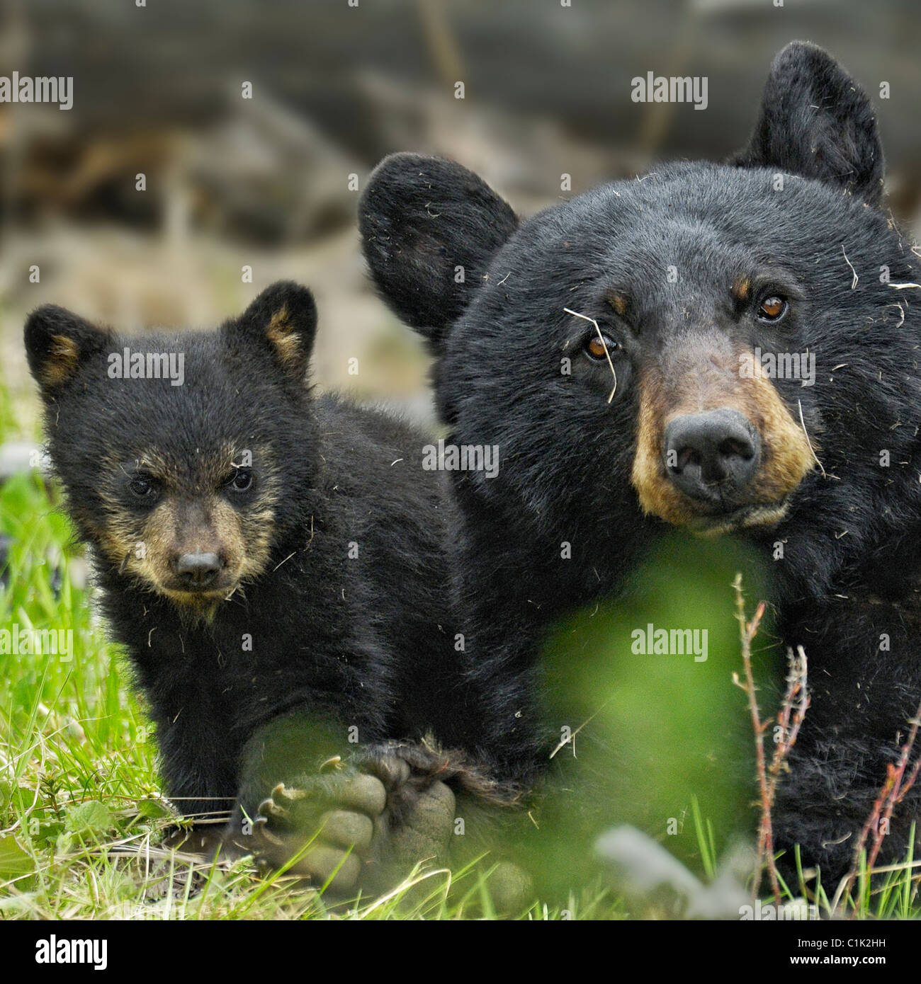 Mother bear and baby bear - Stock Image