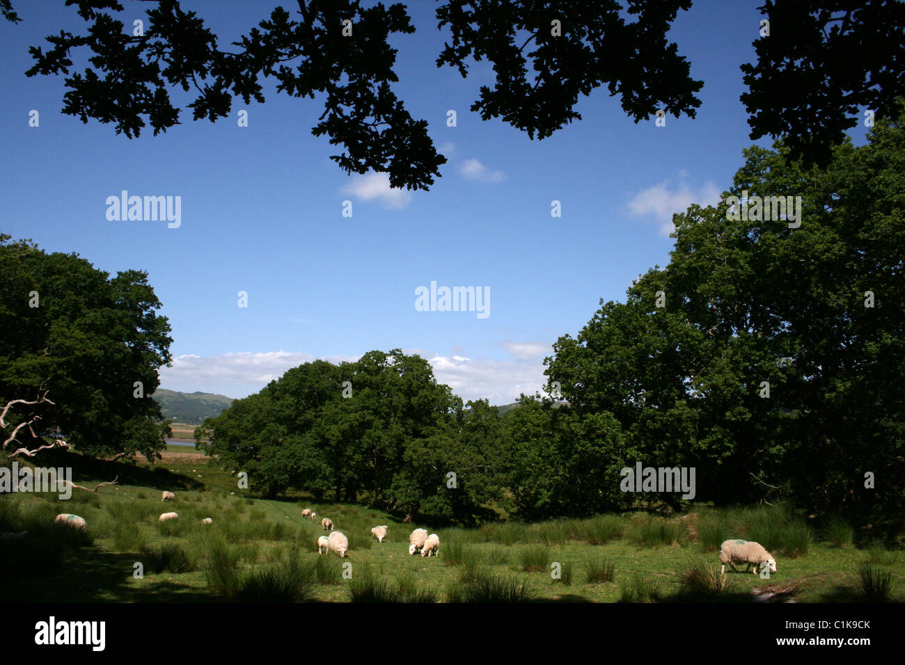 Welsh Country Scene With Sheep Grazing On Rough Pasture Amongst Trees - Stock Image