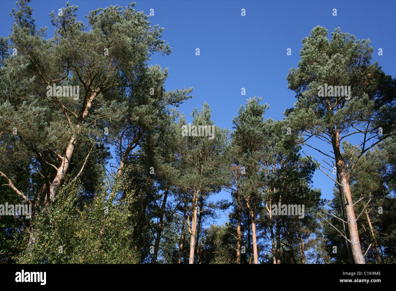 Pine Trees At Willingham Woods, Lincolnshire, UK - Stock Image