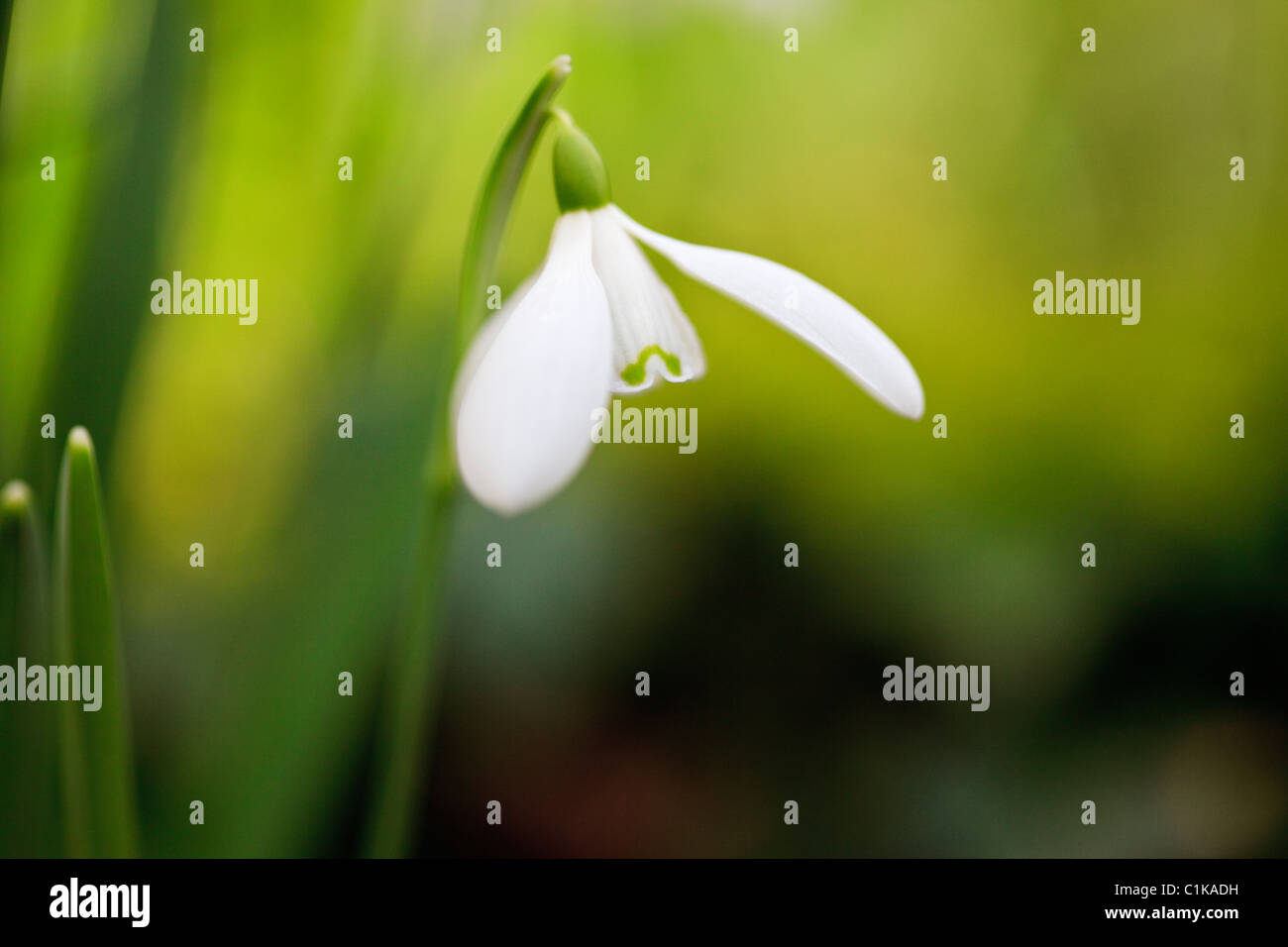 North Wales, UK, Britain. Close-up of a wild Snowdrop flower (Galanthus nivalis) in winter - Stock Image