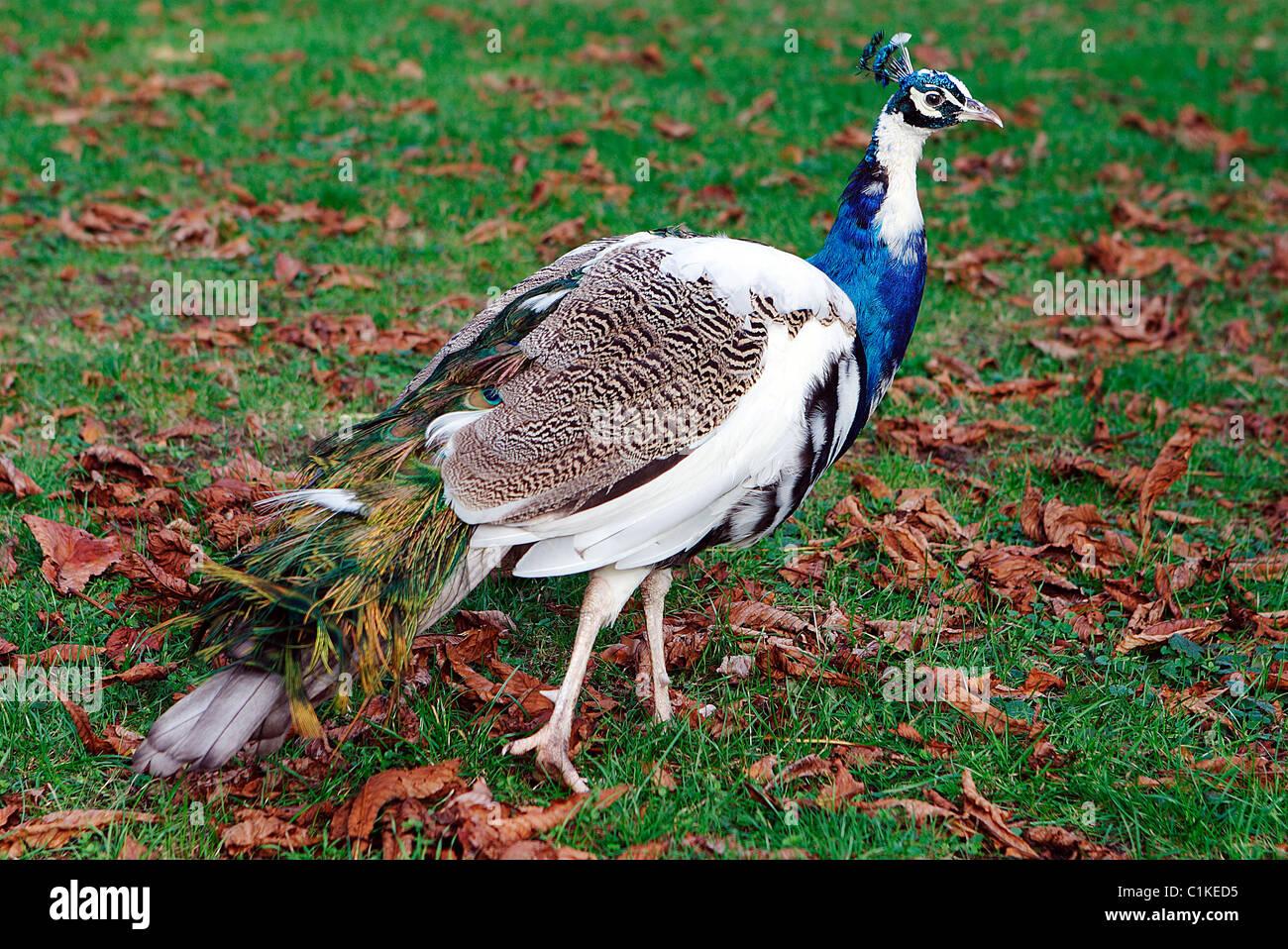 France, Paris, Park of Bagatelle, a peacock - Stock Image