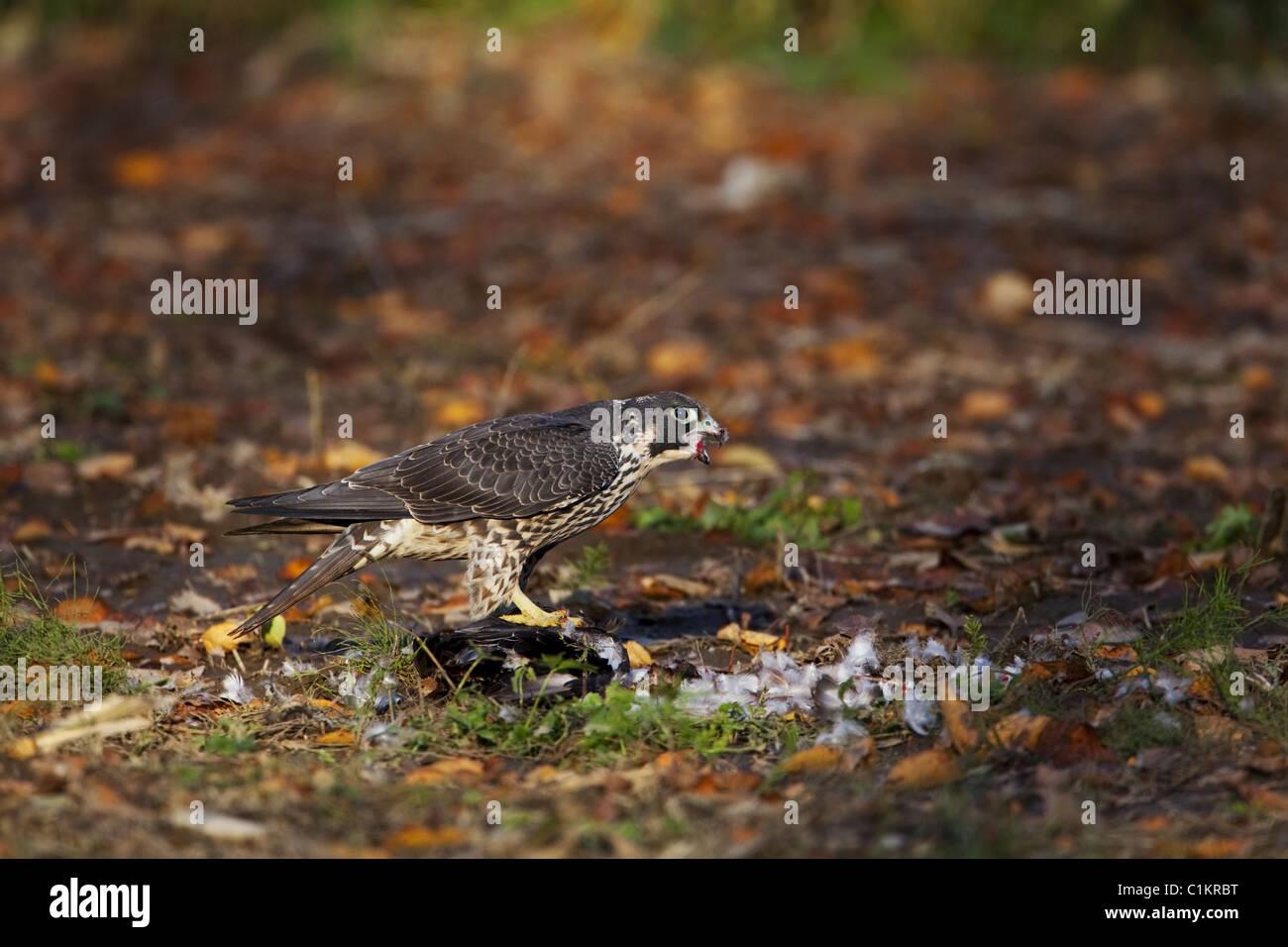 Peregrine Falcon eating prey - Stock Image