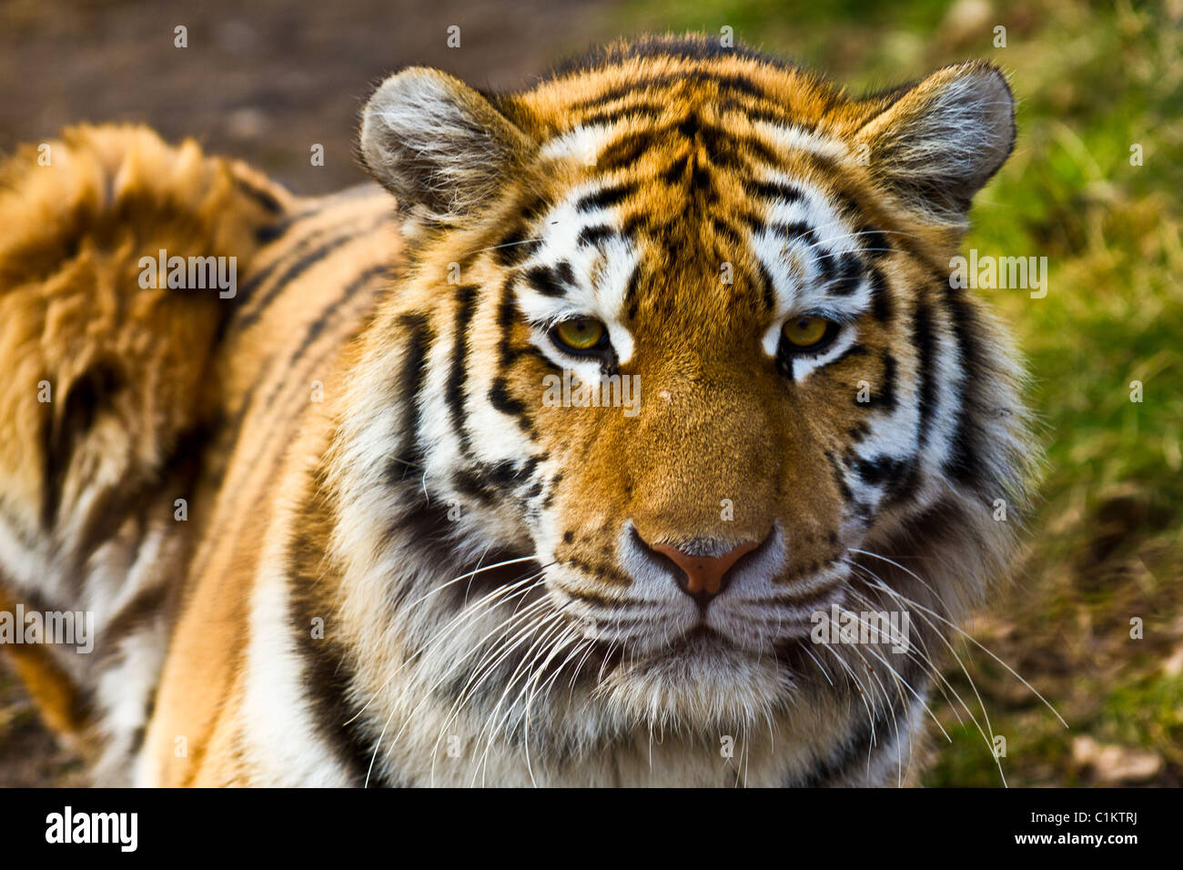 Closeup of tiger relaxing in the sun - Stock Image