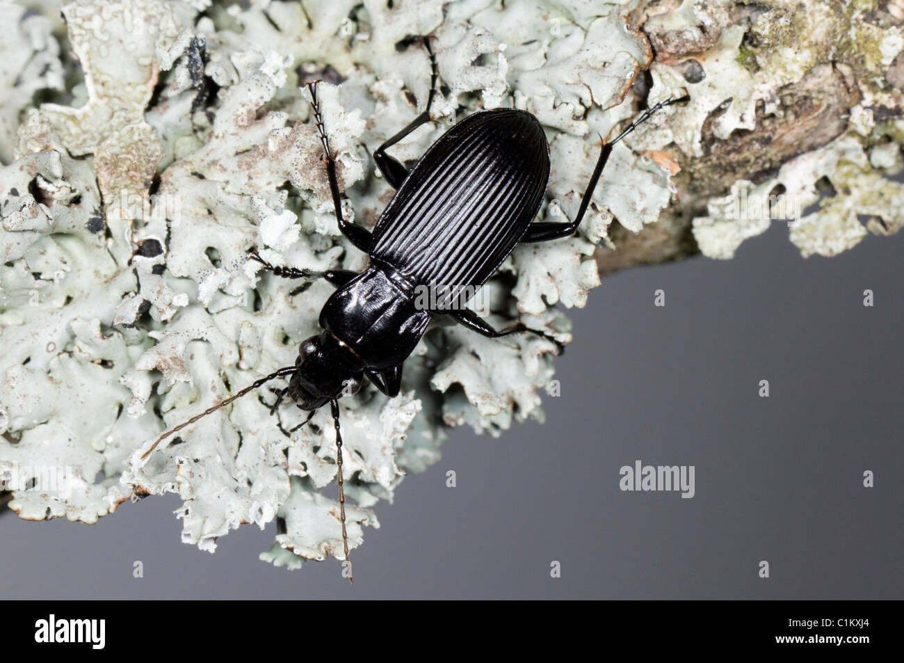 Ground Beetle (Pterostichus niger) on lichen, UK - Stock Image