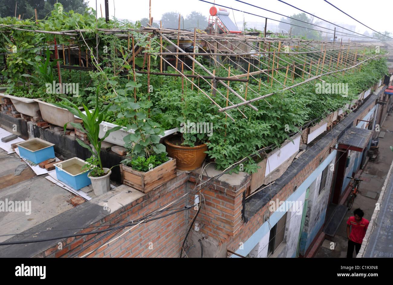 roof garden a retired beijing china teacher has brought a new stock