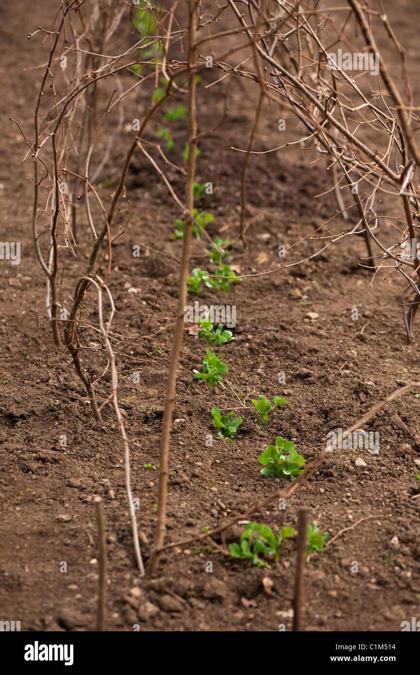 Newly planted out Pisum sativum 'Feltham First', Garden Pea plants - Stock Image