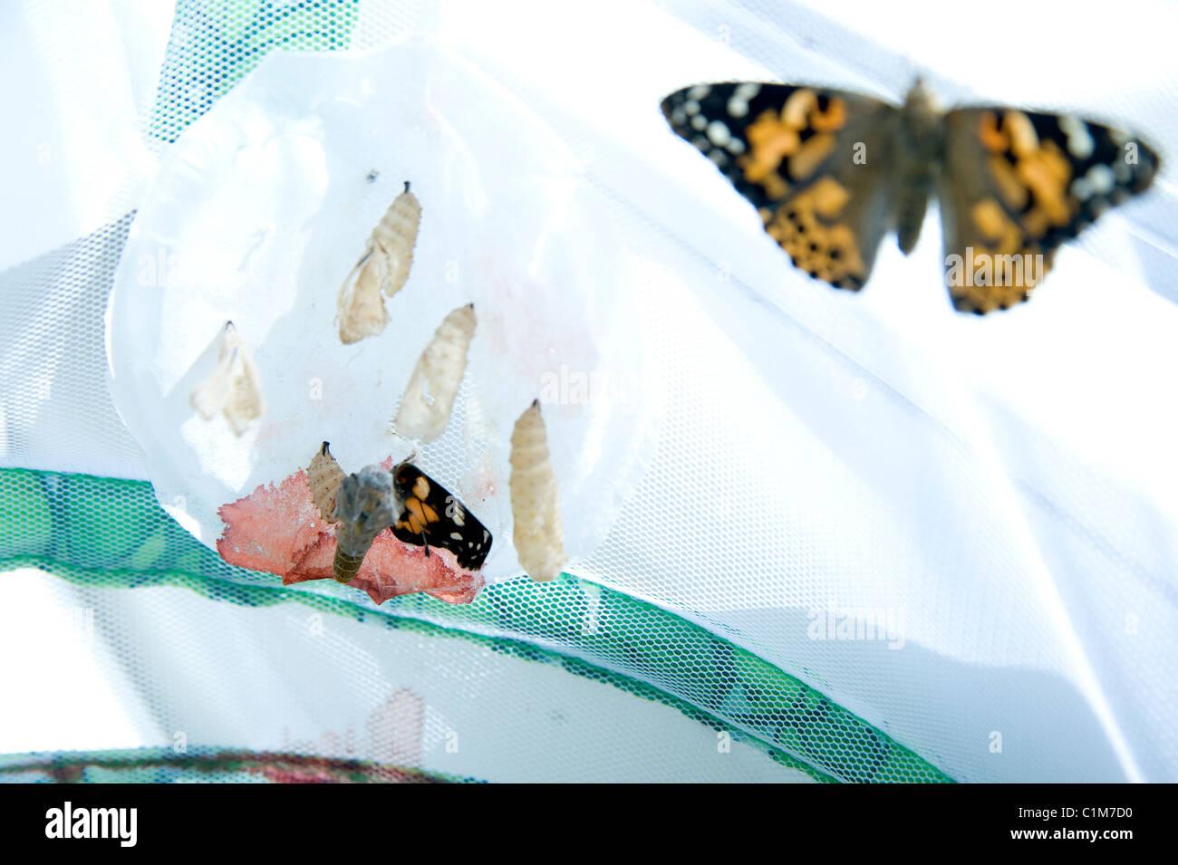 Breeding butterflies - Stock Image