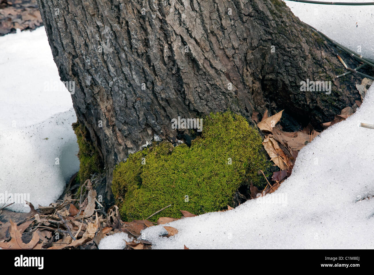 Carpet Moss growing on base of tree trunk Eastern Deciduous Forest Eastern United States - Stock Image