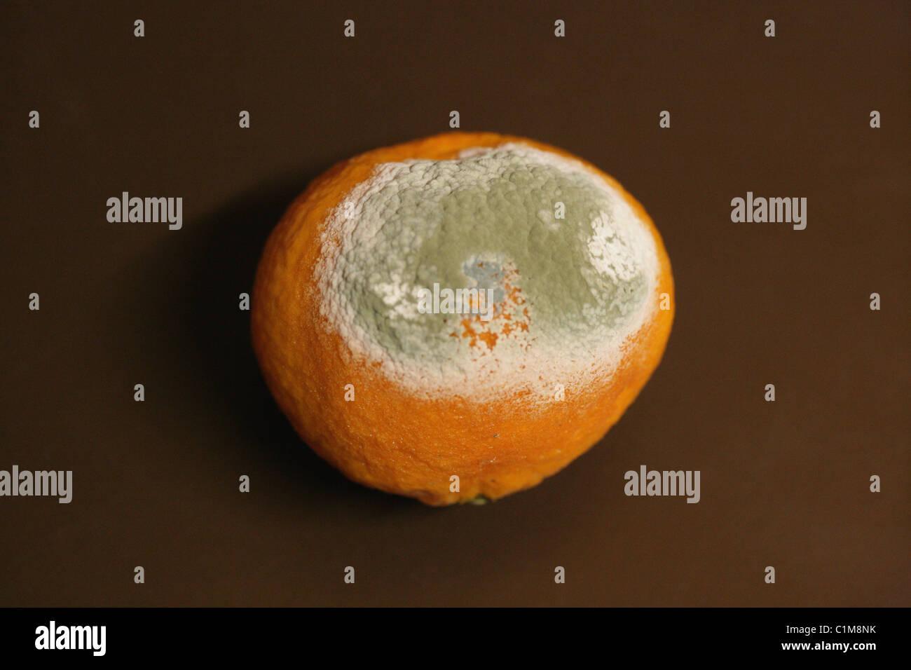 Mandarin Citrus Fruit with Green Mould, Penicillium digitatum, Trichocomaceae, Eurotiales, Fungi. Syn. Monilia digitata. - Stock Image