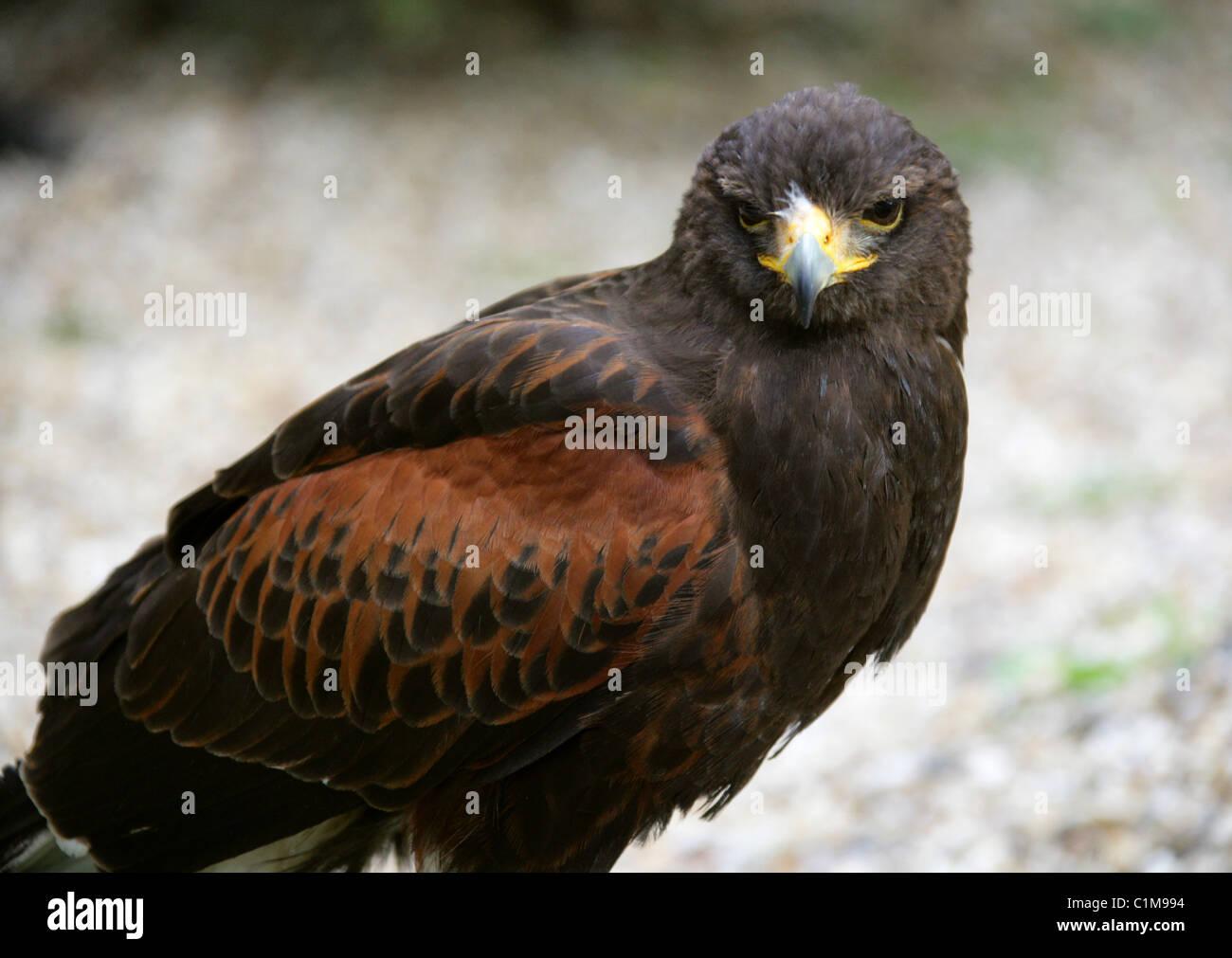 Harris Hawk, Parabuteo unicinctus, Accipitridae. Captive Bird. - Stock Image