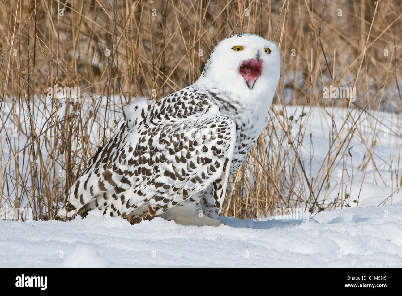 Great Snowy Owl Nyctea scandiacus female calling North America - Stock Image