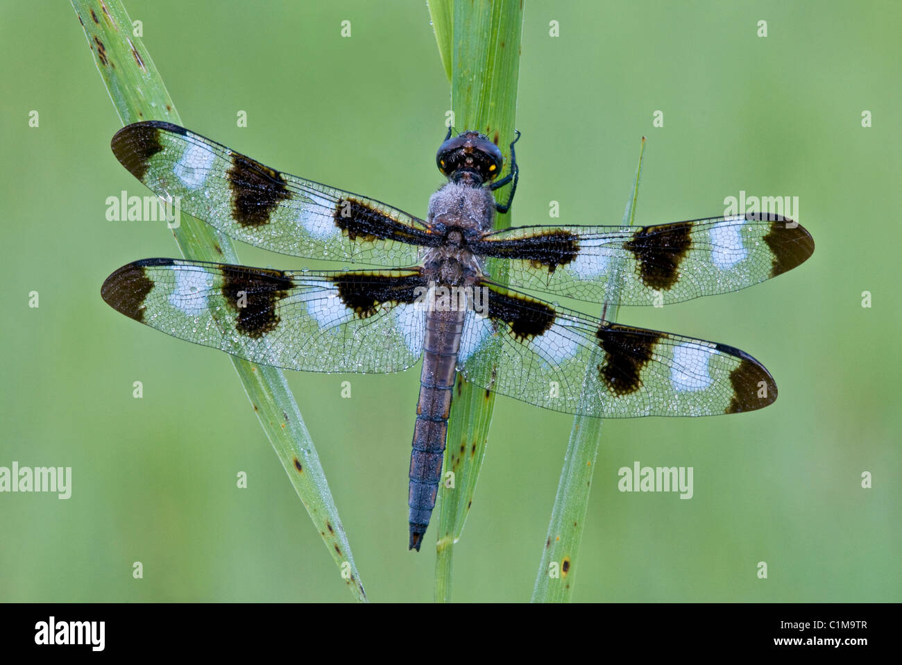 Dew-covered Twelve-Spotted Skimmer Libellula pulchella E USA - Stock Image
