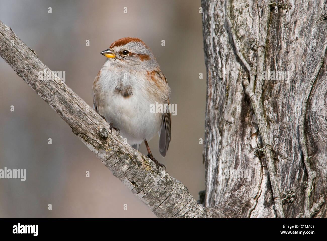 American Tree Sparrow Spizella arborea Male Eastern North America - Stock Image