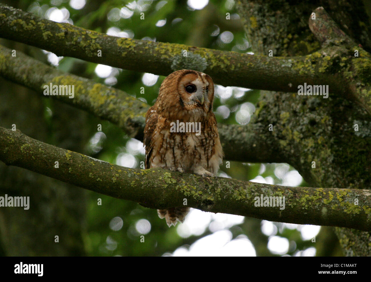 Tawny Owl or Wood Owl, Strix aluco sylvatica, Strigidae - Stock Image