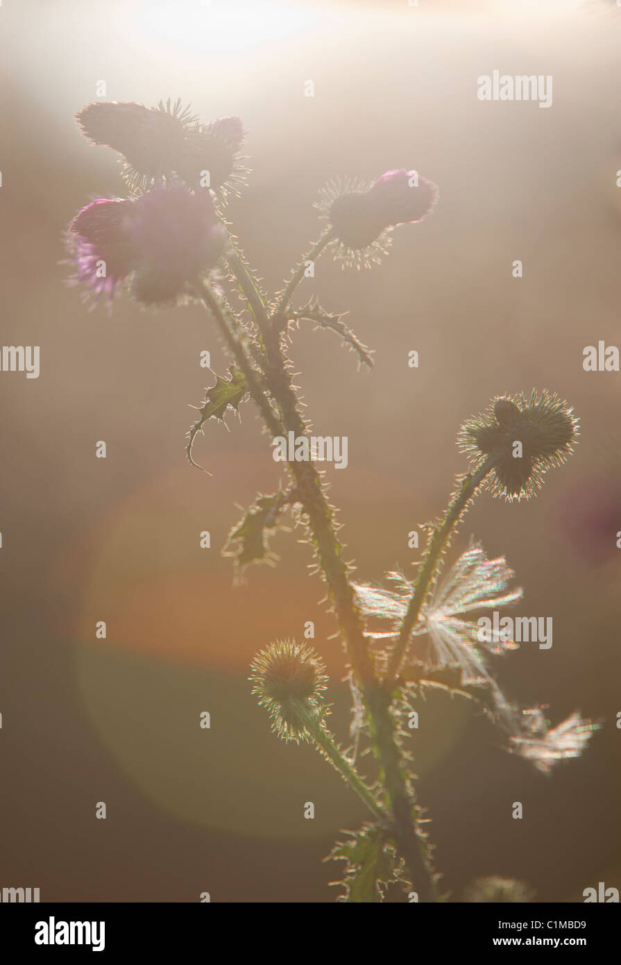 Silhouette of propagating burdock plant ( arctium ,  Asteraceae ) - Stock Image