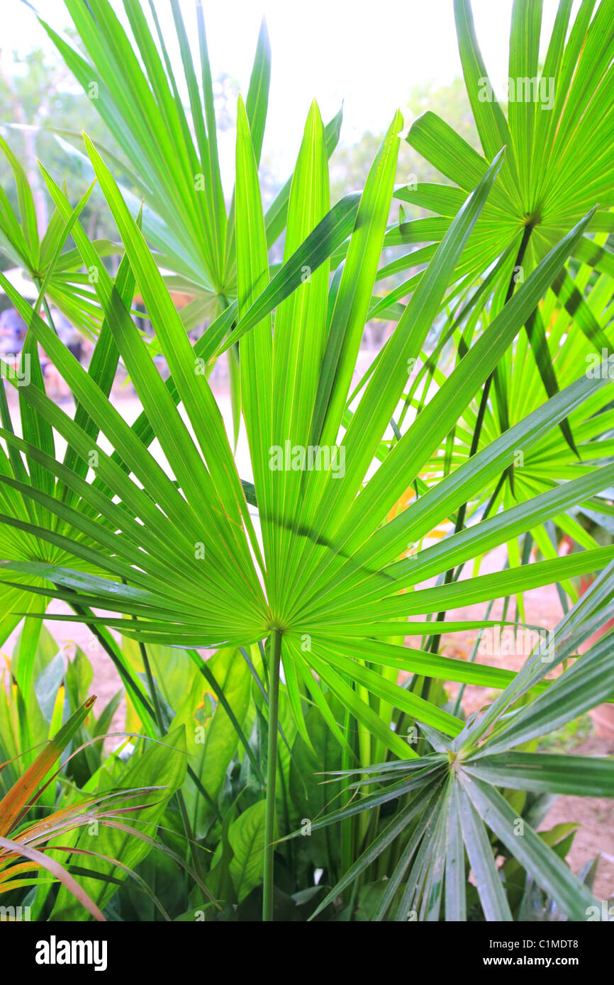 Chit Palm ree leaves in Yucatan rainforest mexico central america Stock Photo