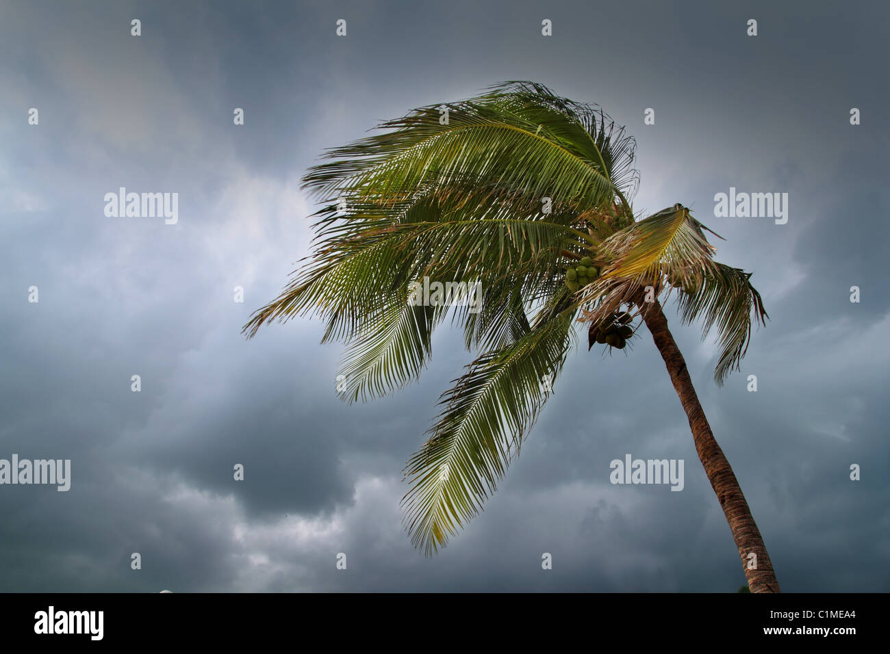 hurricane tropical storm coconut palm tree leaves cloudy gray sky - Stock Image