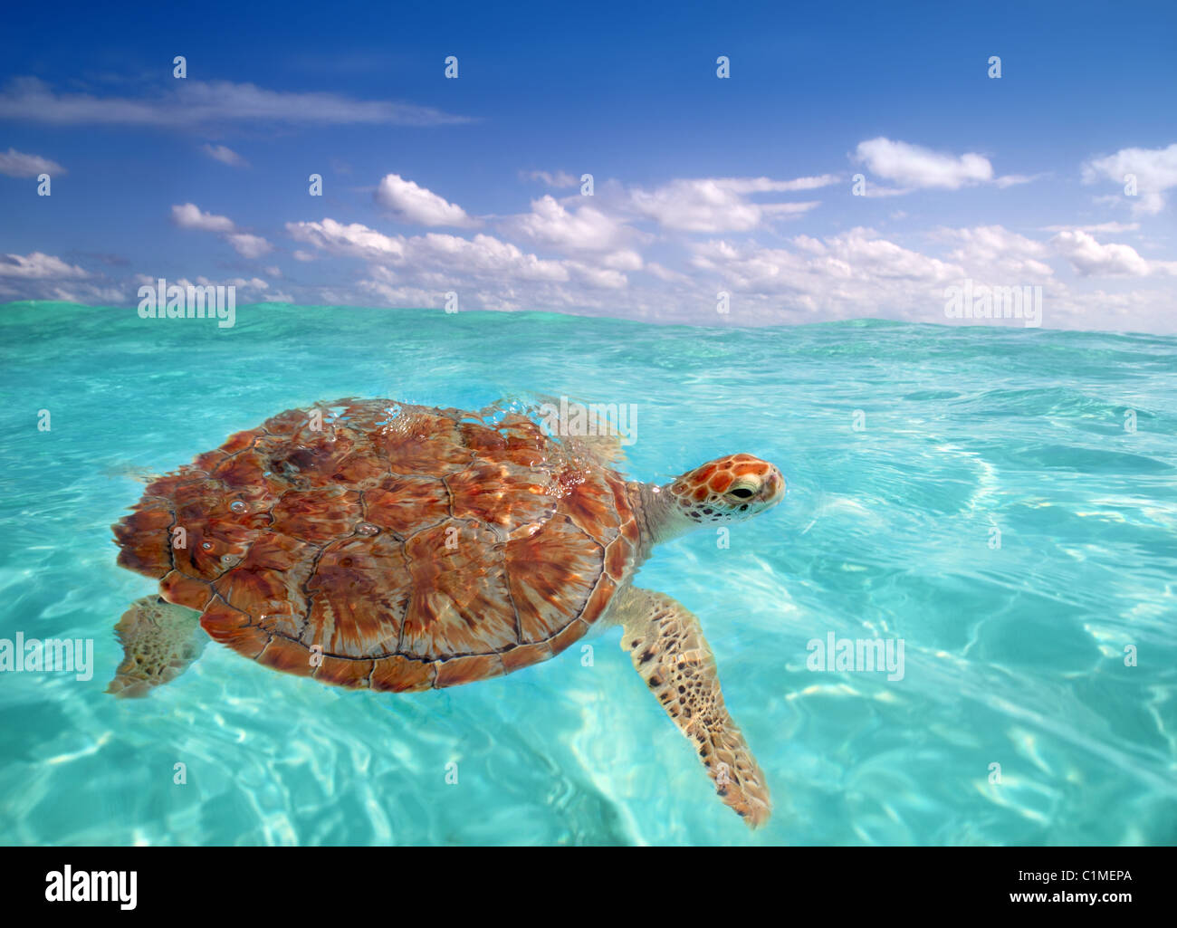 Green sea Turtle Chelonia mydas Caribbean sea Cheloniidae water surface - Stock Image