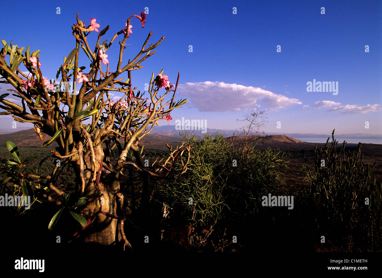 Ethiopia, Rift valley, Arba Minch, little baobab and the lake Chamo and Nechisar national park in the background Stock Photo