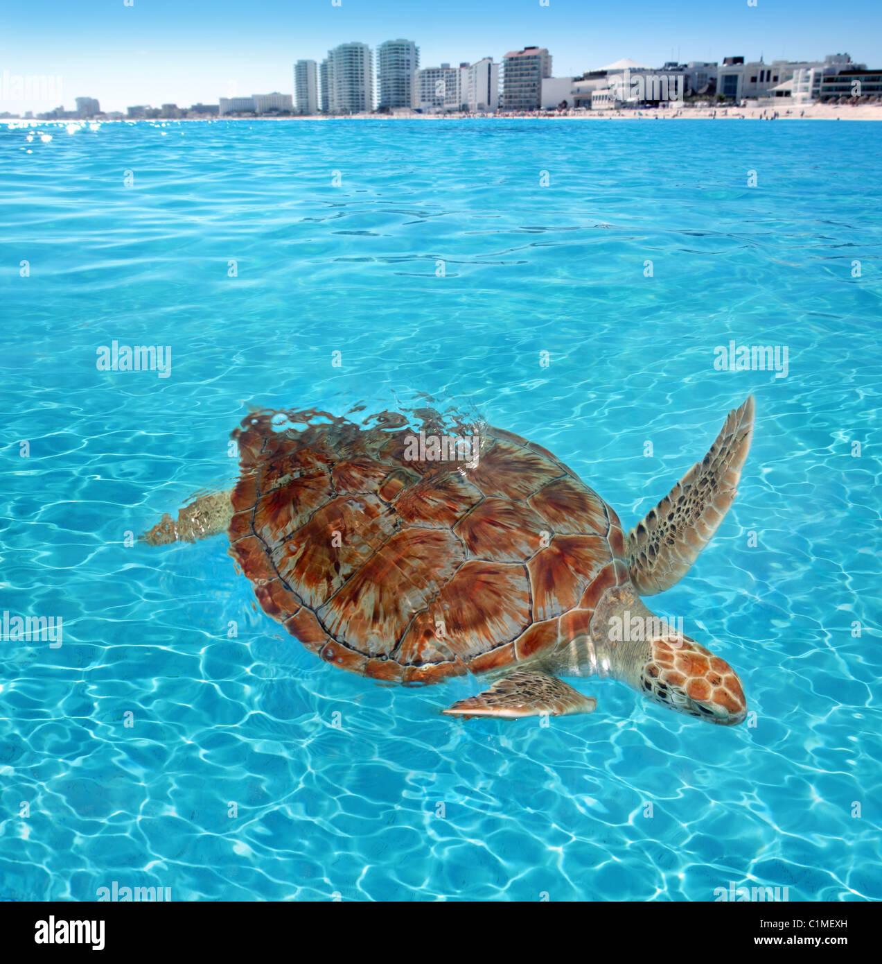 Green sea Turtle Caribbean sea surface Cancun Mexico Chelonia mydas Stock Photo