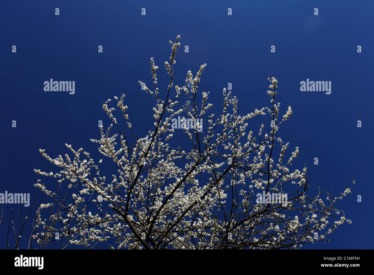 Himalayan flowers and fruit trees Nepal Himalaya - Stock Image