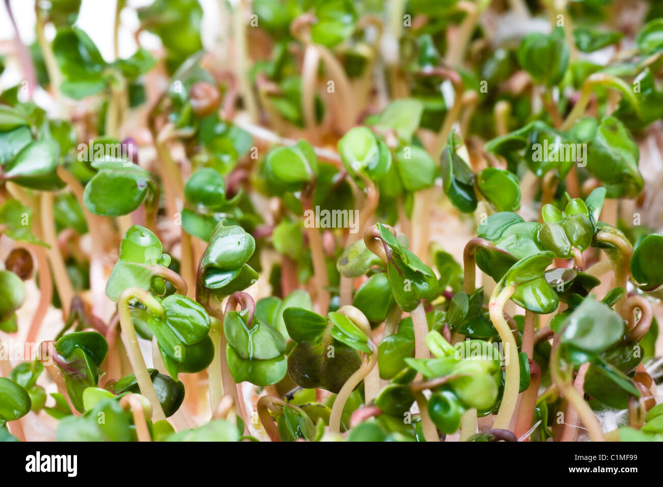 Close-up of a spicy daikon radish sprout - Stock Image