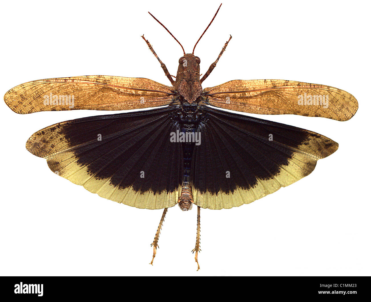 Carolina Grasshopper in Flight - Illustration created by scanning actual insect - Stock Image