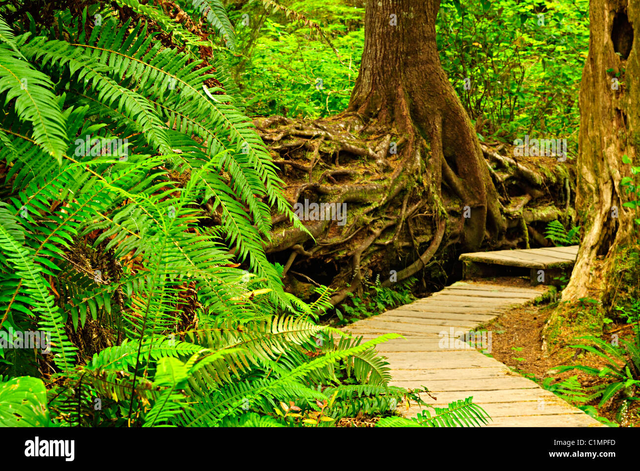 Path through temperate rain forest. Pacific Rim National Park, British Columbia Canada - Stock Image