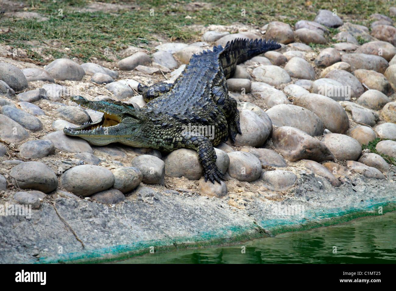 Nile crocodile basking in the sun at Le Bonheur Crocodile Farm near Stellenbosch, South Africa.( Crocodylus niloticus) - Stock Image