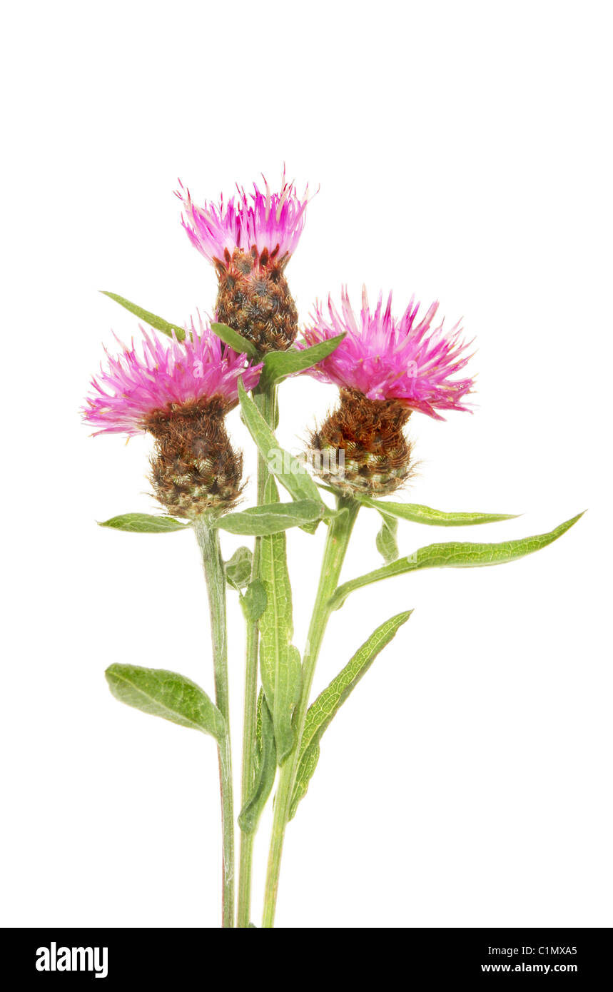 Three thistle flowers against white - Stock Image