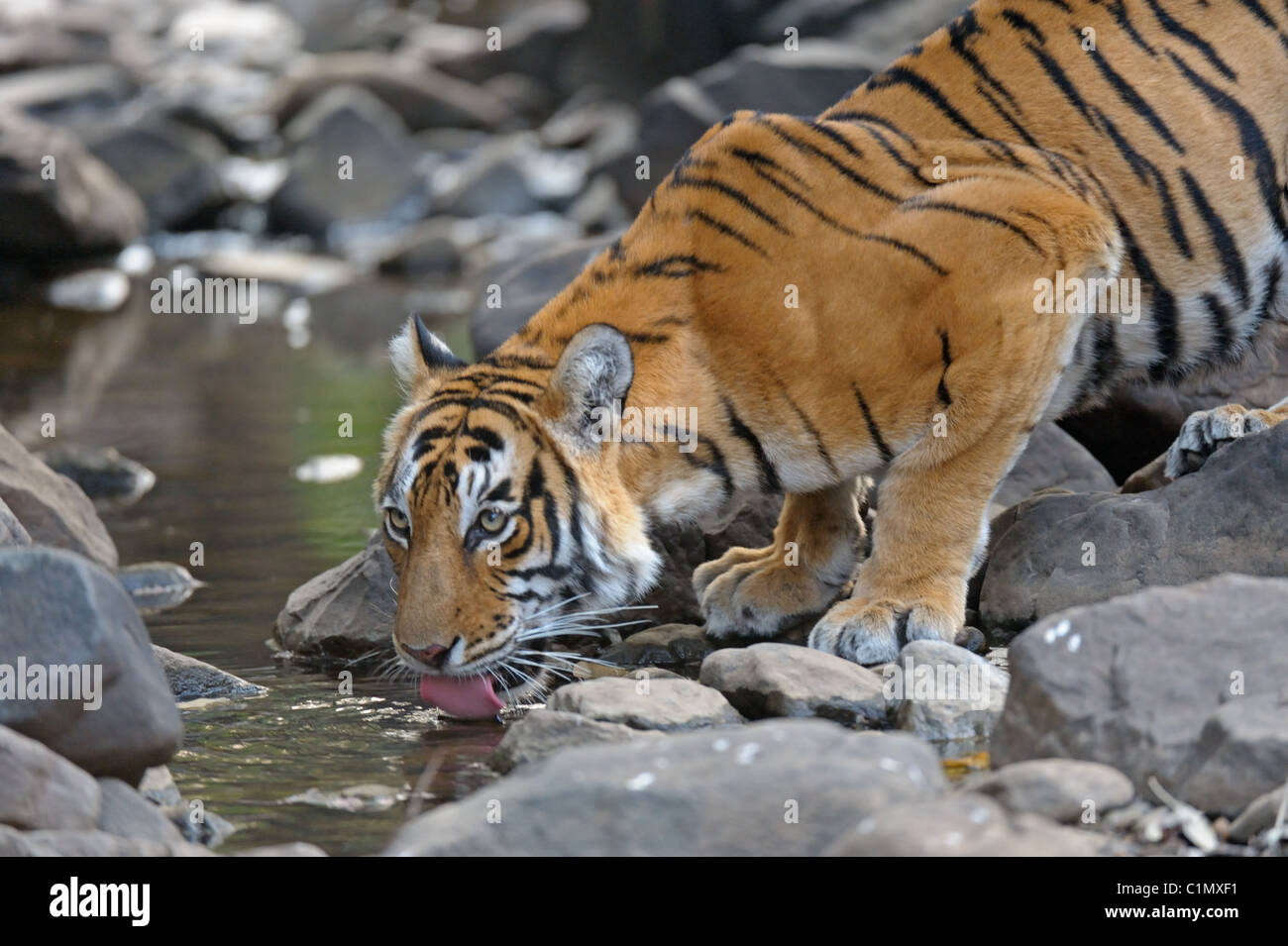 Tiger drinking from a waterhole in Ranthambhore national park, India - Stock Image