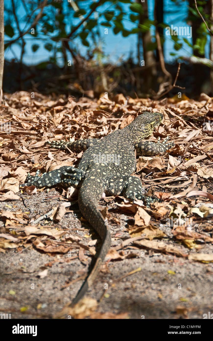 Monitor Lizard in the Whitsunday Islands Archipelago Stock Photo