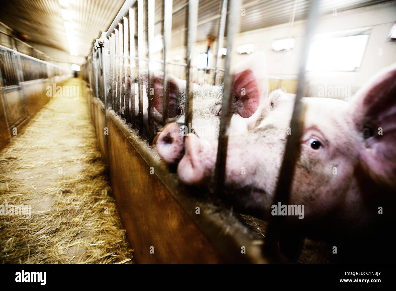 Pig farm with pigs in cages - Stock Image