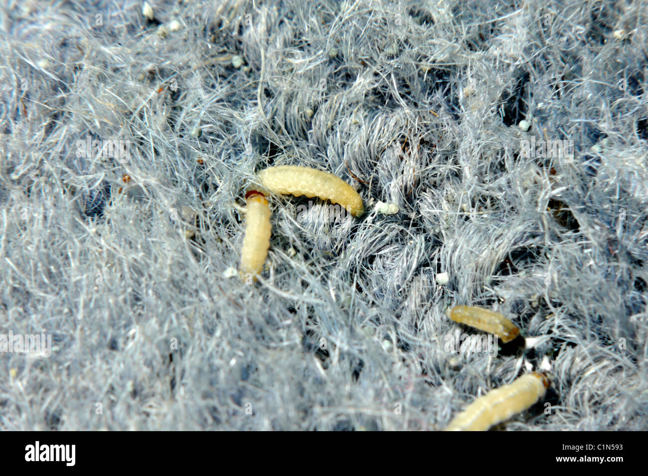 how to get maggots out of carpet