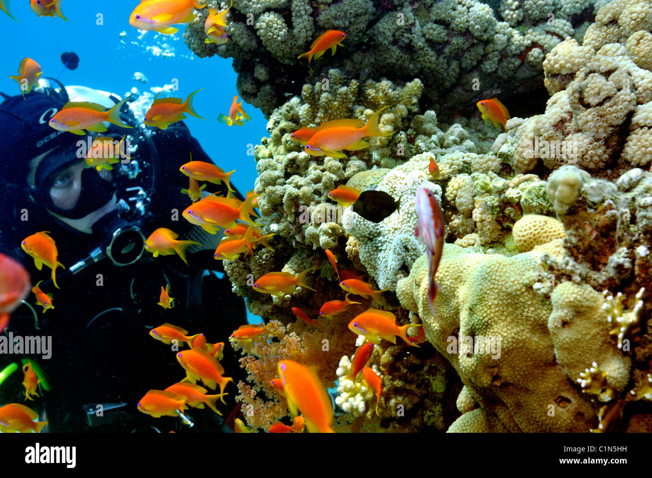 Scuba diver watching anthias fish on coral reef, Red Sea - Stock Image
