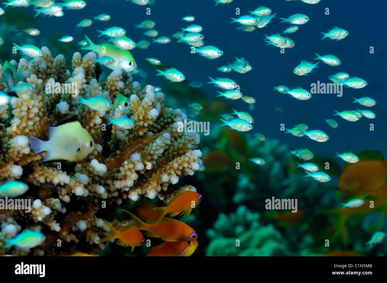Bluegreen chromis fish, Chromis viridis, aggregation on Acropora lamarcki coral - Stock Image