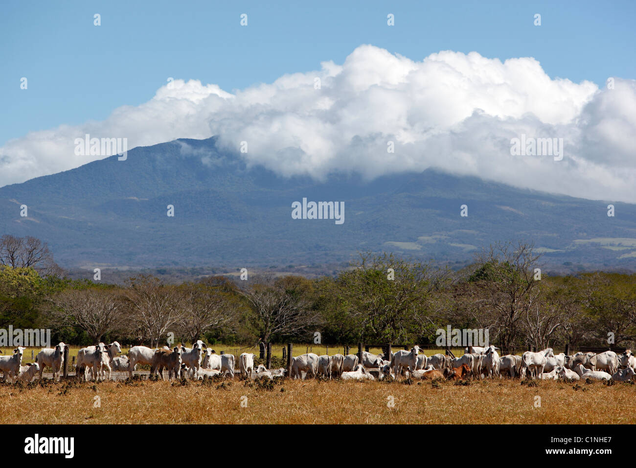 Cattle and ranch land backed by Miravalles volcano, Costa Rica Stock Photo
