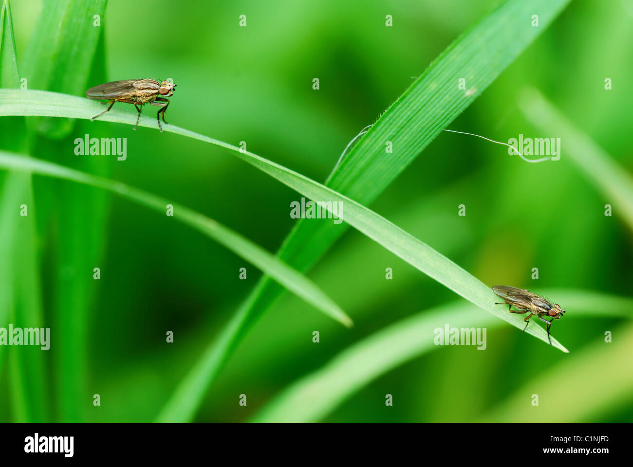 single blade of grass. Two Flies Sitting On The Single Blade Of Grass - Stock Image