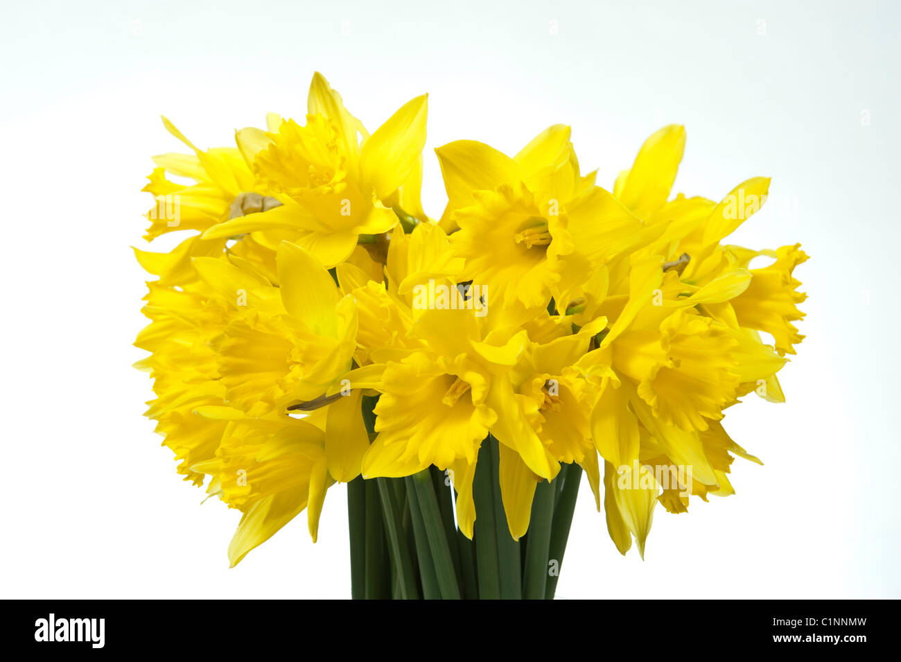 A bunch of spring daffodil flowers in a glass vase against a white background - Stock Image