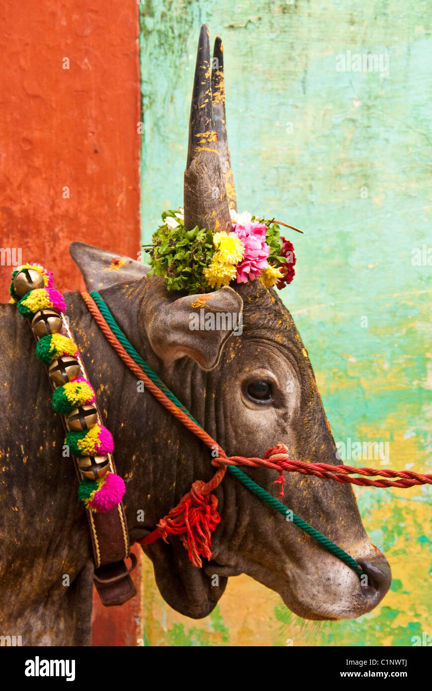 Portrait of a colorful jallikattu bull decorated for pongal festival stock image