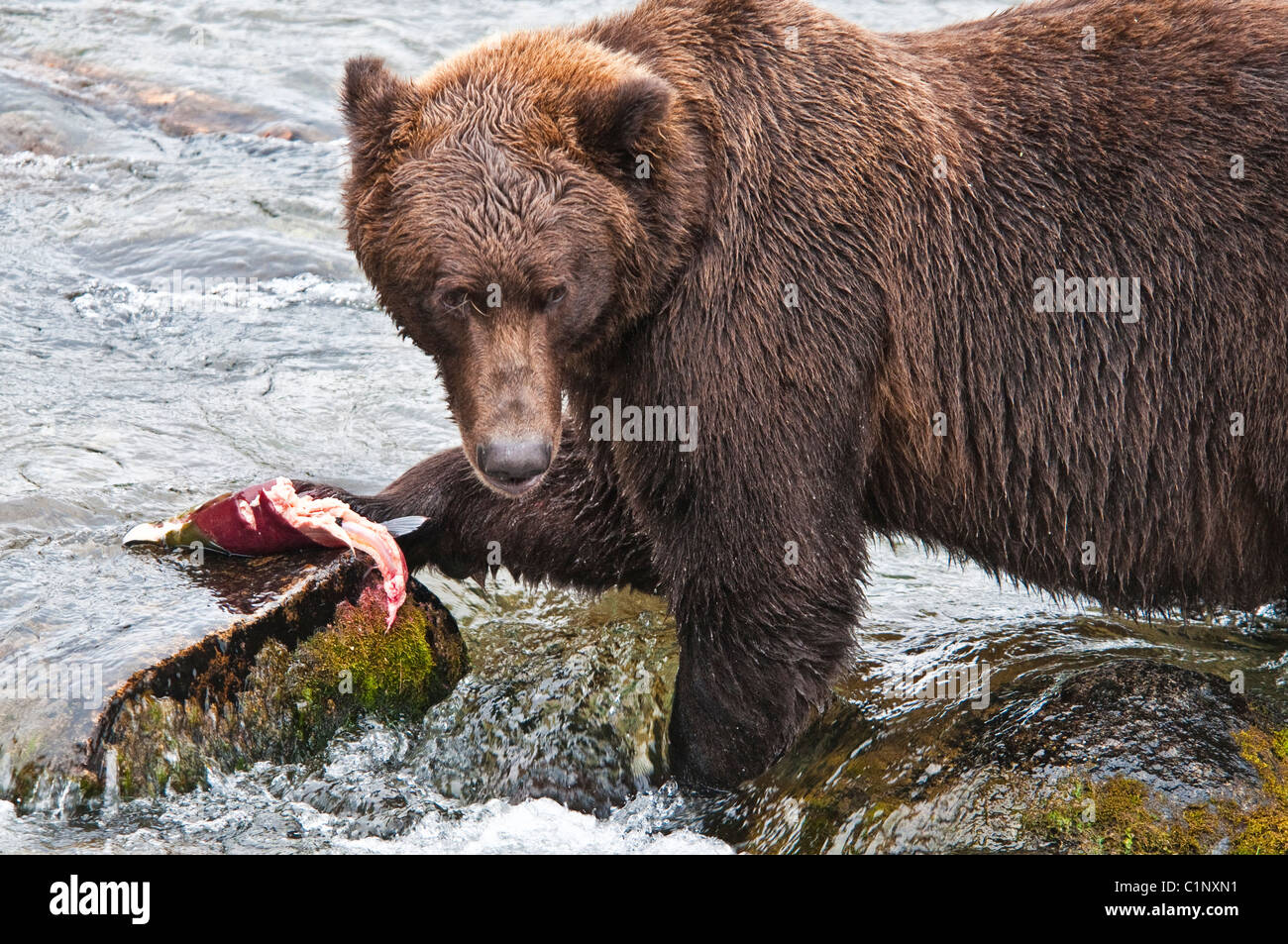 Grizzly Bear, Ursus arctos horriblis, eating salmon, Brooks River, Katmai National Park, Alaska, USA - Stock Image