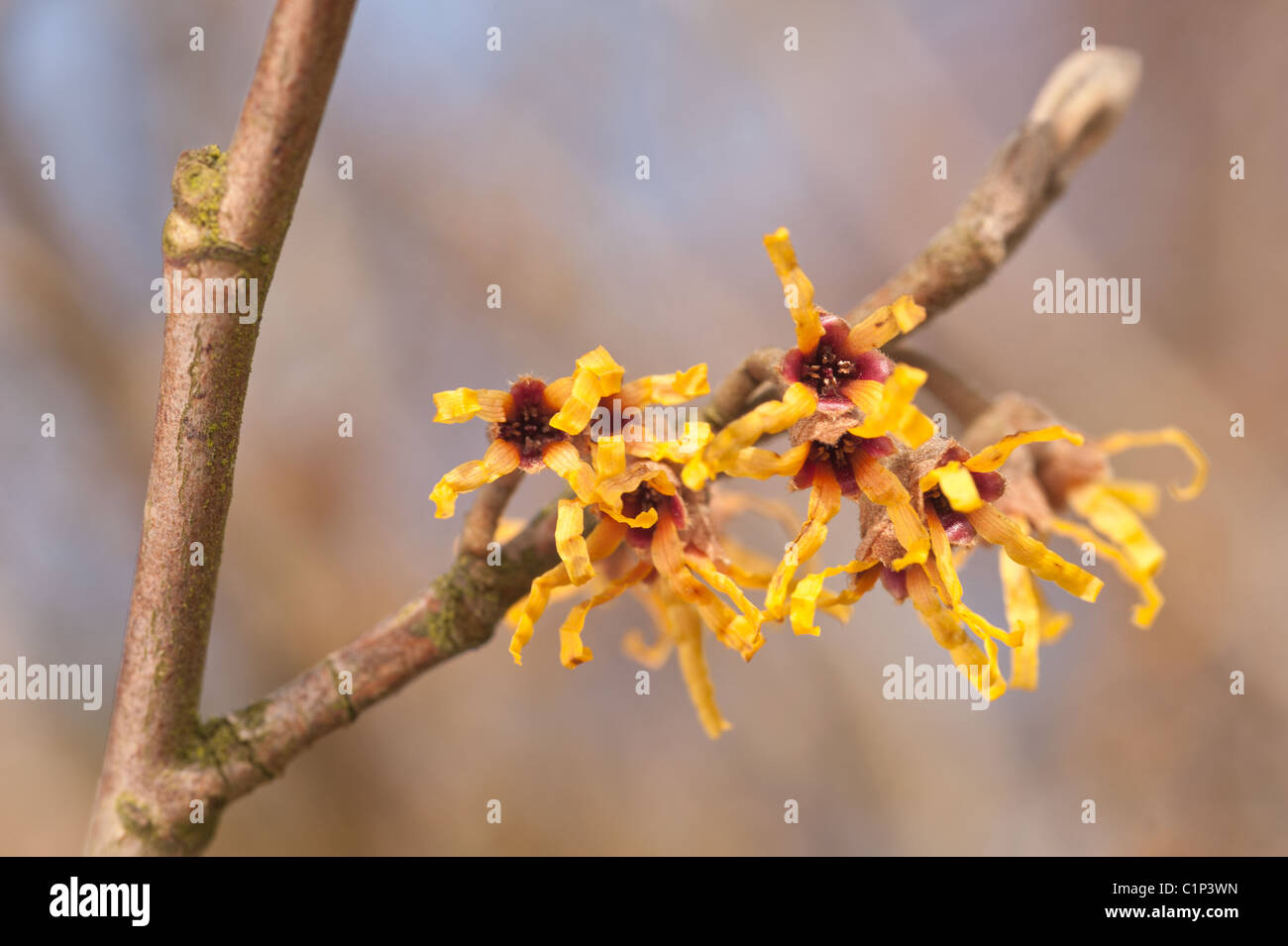 Blooming Witch Hazel Hamamelis Mollis A Deciduous Winter