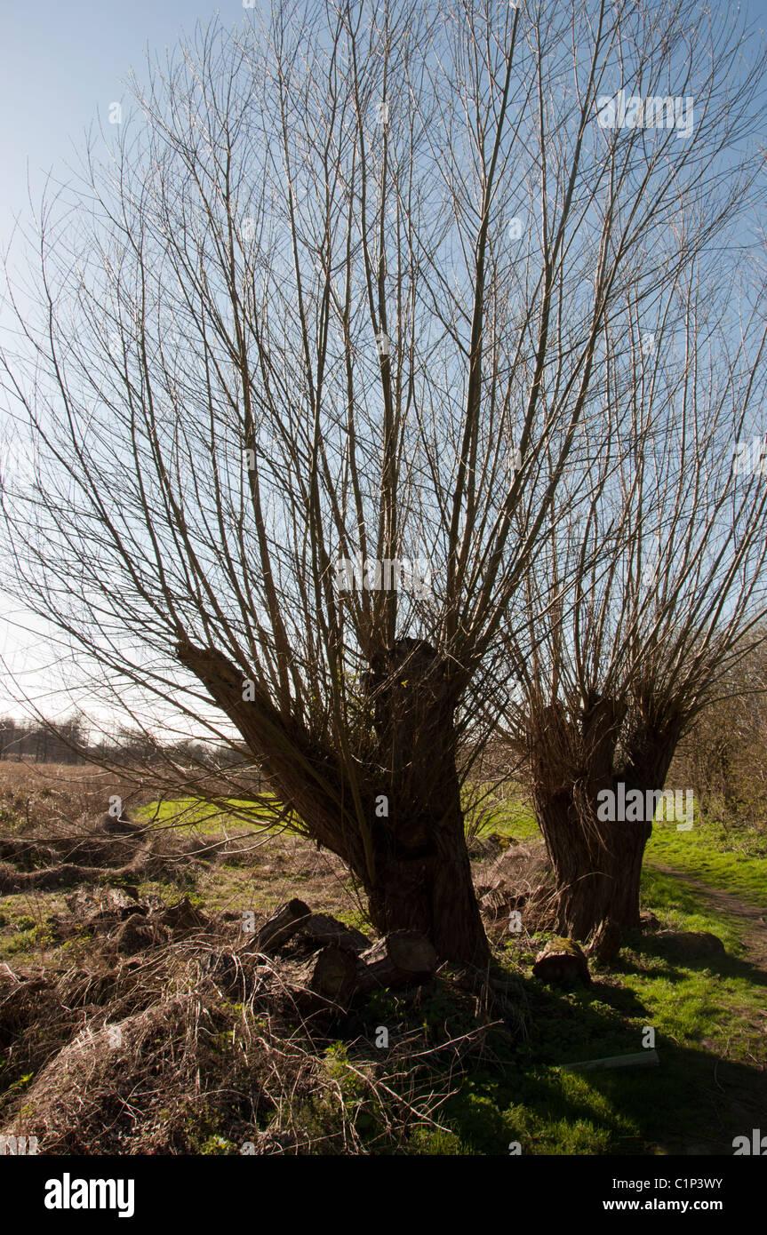Old Willow pollard - Stock Image