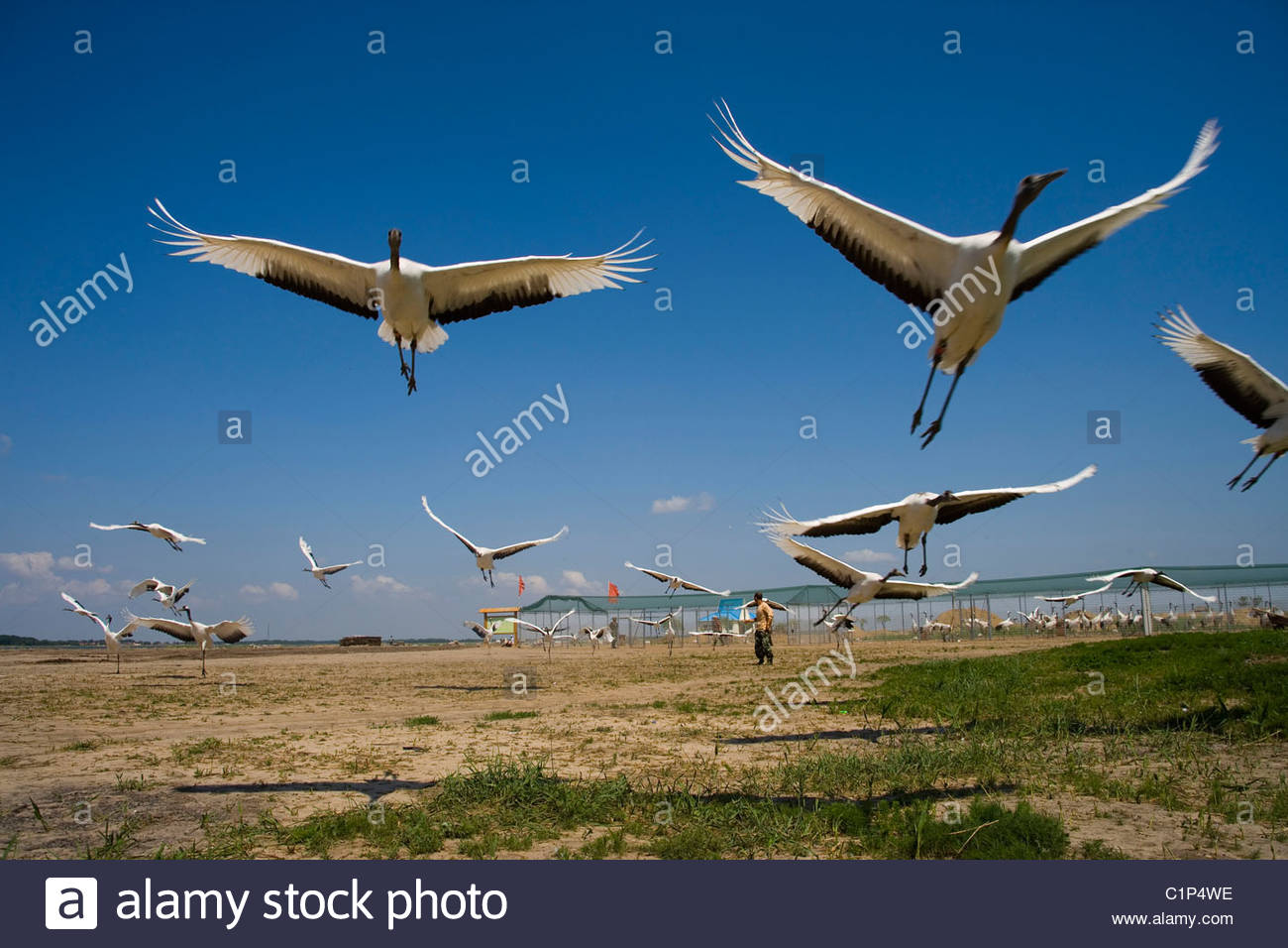 Red-crowned Cranes, Grus japonensis, Zhalong Nature Reserve, Heilongjiang, China - Stock Image